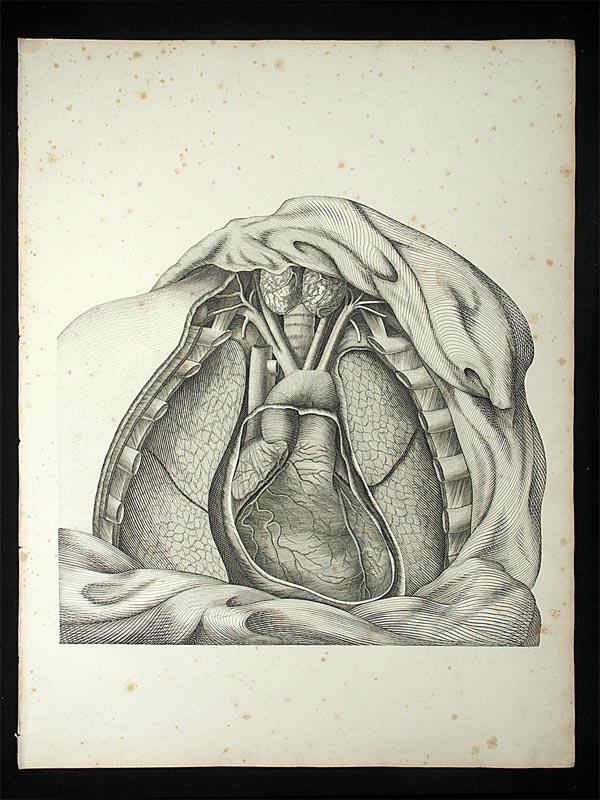 Oesterreicher, Johann Heinrich (1805-1843): - Anatomische Darstellung des Brustkorbes mit Herz und Lunge.