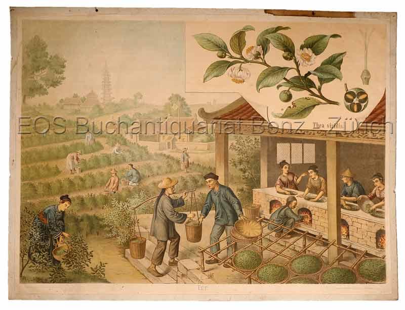 Goering, Anton (1836-1905): - Tee - Thea viridis.